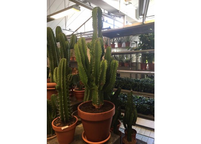 Kaktus #2