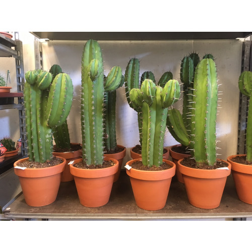 Kaktus #1